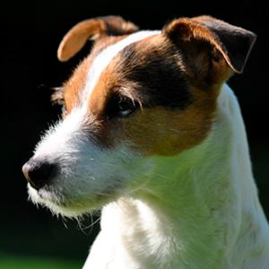 Todo sobre el perro Parson Russell Terrier: Características, precios, cachorros, criadores, alimentación y mucha más información