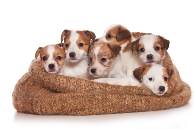 parson russell terrier cachorros