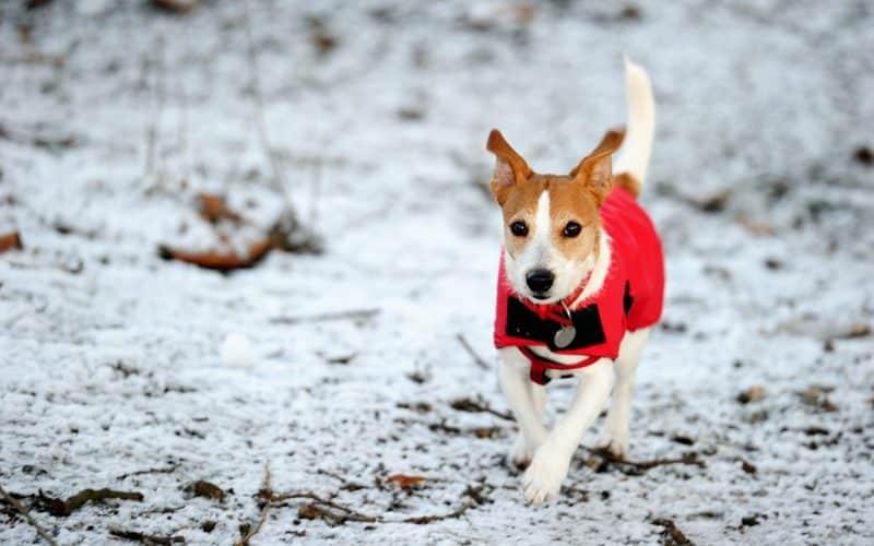 parson russell terrier en la nieve