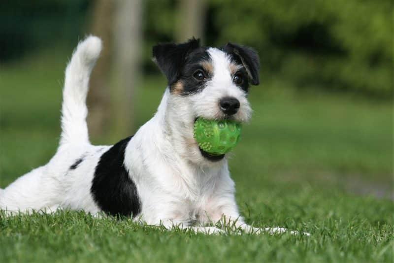 parson russell terrier jugando