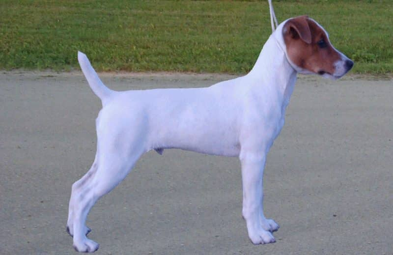 parson russell terrier lateral