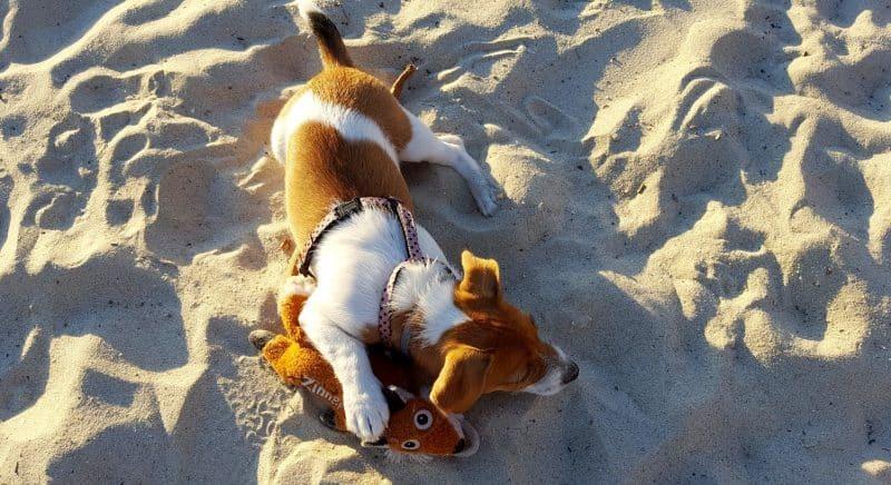 pelaje del parson russell terrier