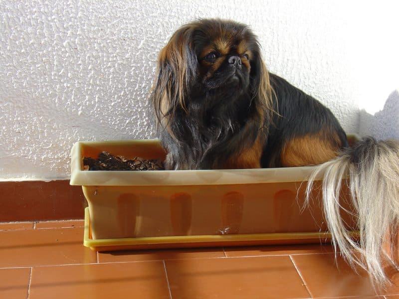 periodo de gestación del perro pekines