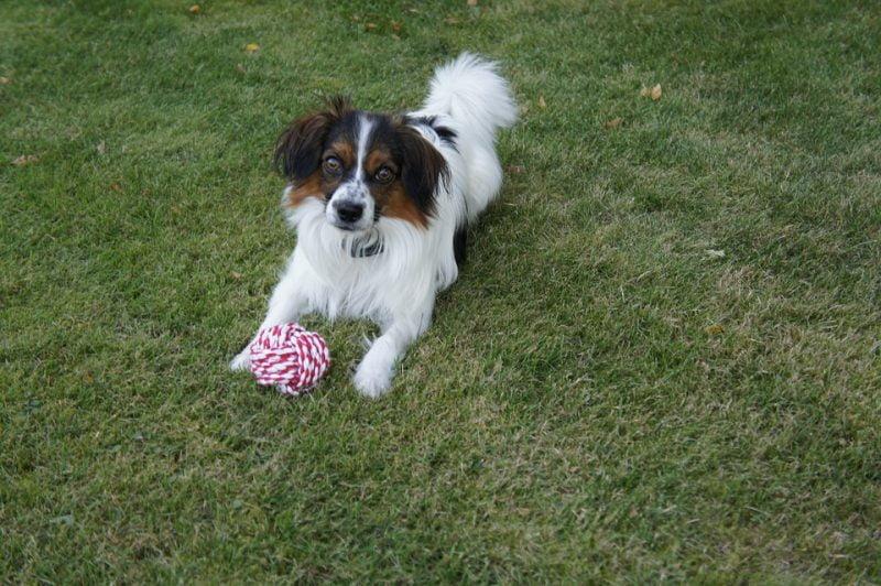 perro papillon o continental toy spaniel