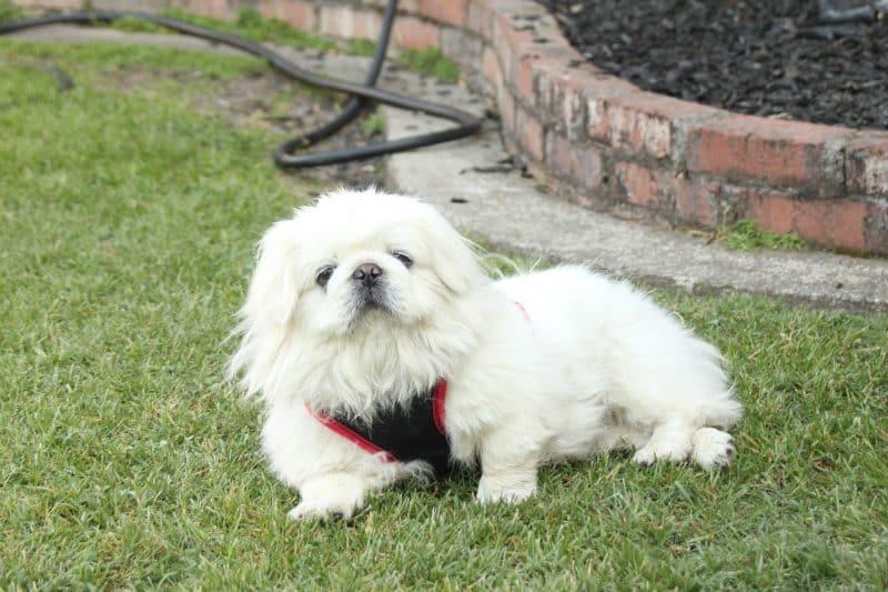 perro pekines blanco descansando