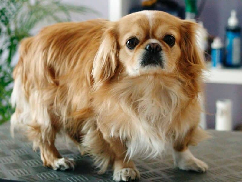 perro pekines en venta