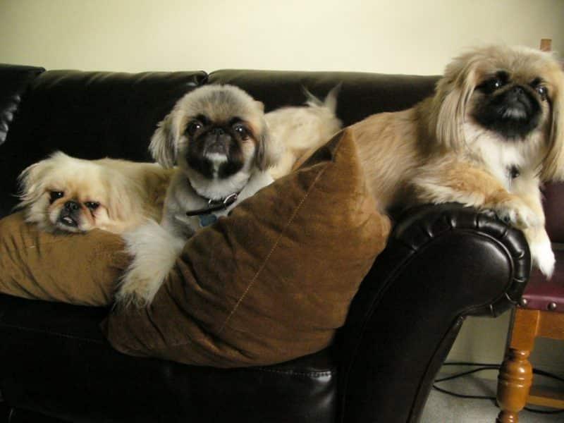 perros de raza pekines