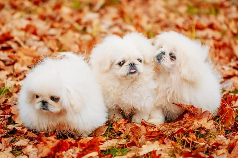 perros pekineses