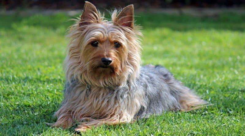 silky terrier australiano cuerpo