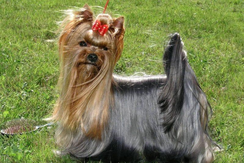 silky terrier australiano pelaje