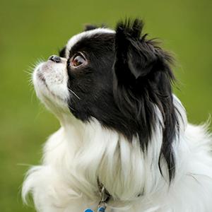 Todo sobre el perro Spaniel Japonés: Precio, características, cachorros, temperamento, cuidados, adiestramiento y mucho más