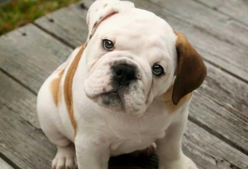 bulldog inglés cachorro mirando hacia arriba