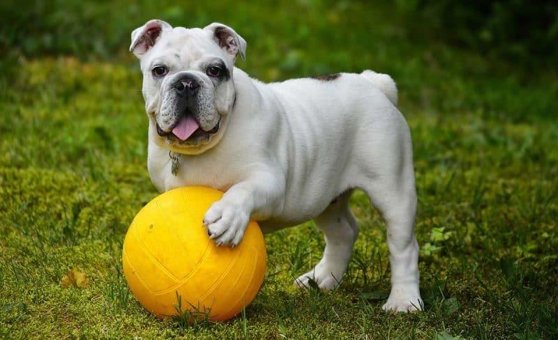bulldog inglés con una pelota