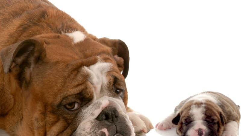 bulldog inglés descansando
