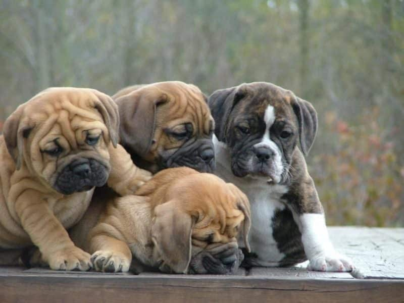cachorro bulldog inglés precio