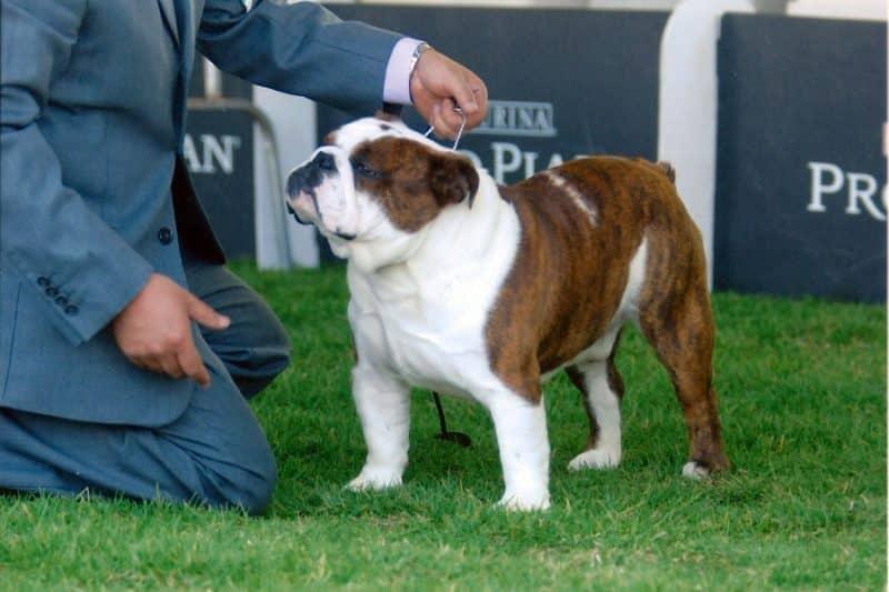 como adiestrar a un bulldog inglés